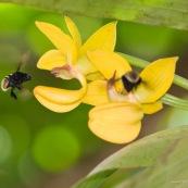 Mormodes sp. avec bourdon (orchidée)
