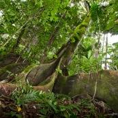 Ficus igueron