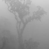 Bosque de Neblina