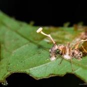 Fourmi moisie avec champignons en décomposition