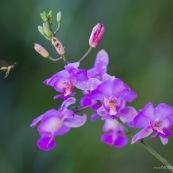 Orchidée violette avec guepe
