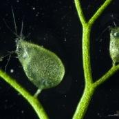 utricularia utriculaire piege outre sous-marine plante carnivore