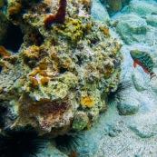 Fonds sous-marin de Guadeloupe. Poissons. Vue sous-marine. Sous l'eau. Plongee. Snorkeling. Coraux. Oursins.