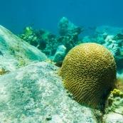 Fonds sous-marin de Guadeloupe. Poissons. Vue sous-marine. Sous l'eau. Plongee. Snorkeling. Coraux. Oursins.  Corail cerveau.