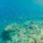 Fonds sous-marin de Guadeloupe. Poissons. Vue sous-marine. Sous l'eau. Plongee. Snorkeling. Coraux. Oursins.  Banc de poissons.