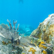 Fonds sous-marin de Guadeloupe. Poissons. Vue sous-marine. Sous l'eau. Plongee. Snorkeling. Coraux. Oursins.  Nageur a la surface. Tourisme. Plongeur.
