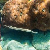 Fonds sous-marin de Guadeloupe. Poissons. Vue sous-marine. Sous l'eau. Plongee. Snorkeling. Coraux. Poisson trompette. Aulostomus chinensis.