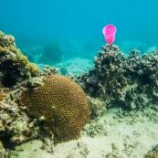 Fonds sous-marin de Guadeloupe. Poissons. Vue sous-marine. Sous l'eau. Plongee. Snorkeling. Corail. Coraux.  Gobelet plastique. Pollution.