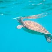 Chelonia mydas. Tortue verte en Guadeloupe. Sous l'eau. Photo sous-marine. Plongee. Respire en surface.