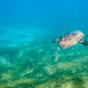 Chelonia mydas. Tortue verte en Guadeloupe. Sous l'eau. Photo sous-marine. Plongee.