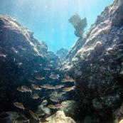 Fond sous-marin en Guadeloupe (environs de basse-terre). Banc de poissons.