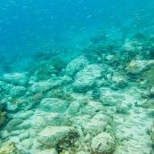 Fonds sous-marin de Guadeloupe. Poissons. Vue sous-marine. Sous l'eau. Pongee. Snorkeling.  Banc de poissons.
