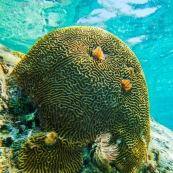 Fonds sous-marin de Guadeloupe. Poissons. Vue sous-marine. Sous l'eau. Plongee. Snorkeling. Coraux. Corail cerveau. Anemone de mer.
