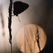 Argus bleu. Papillon. Polyommatus icarus mâle ailes déployées se réchauffant au soleil. Croatie. Couché de soleil. Macro.