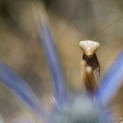 Mante religieuse sur fleur de chardon. Croatie. Mantis religiosa.