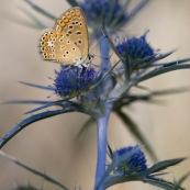Argus bleu. Papillon. Polyommatus icarus mâle se récxhauffant au soleil. Croatie. Sur une fleur de chardon.