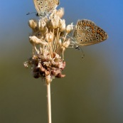 Argus bleu. Papillon. Polyommatus icarus mâle se récxhauffant au soleil. Croatie.
