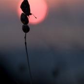 Argus bleu. Papillon. Polyommatus icarus mâle ailes déployées se réchauffant au soleil. Croatie. Couché de soleil. Macro. ombre chinoise.