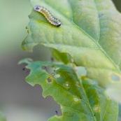 Fausse chenille, avec fausses pattes !  Ordre : Hymenoptera Famille : Tenthredinidae EspËce : Periclista sp.  Larve de Periclista sur feuille de chÍne. Longueur : 12mm. Feuille dÈja dÈvorÈe par la larve. Vert sur fond vert.
