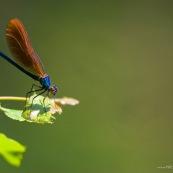 Demoiselle  - CaloptÈryx vierge Classe : Insecta Ordre : Odonata Famille : Calopterygidae EspËce : Calopteryx virgo Jeune m'le immature : corp bleu mÈtallique, ailes couleur bronze, posÈ sur une feuille.
