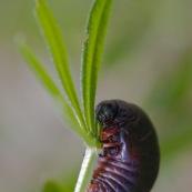 Crache-sang, timarque ou chrysomËle noire Ordre : ColÈoptËre Famille : Chrysomelidae EspËce : Timarcha tenebricosa  Larve de scarabÈe en train de manger.