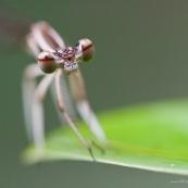 Gros plan de la tÍte d'une demoisele (libellule), vue de face et de ses yeux. La demoiselle est posÈe sur une feuille.