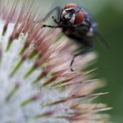 Mouche aux yeux rouges posÈe sur des piquants. Vue de face.