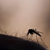 Moustique sur peau humaine, sur bras, ‡ contre-jour, silhouette se dÈtachant sur fond de coucher de soleil, s'appretant ‡ sucer le sang de sa victime.   Classe : Insecta Ordre : Diptera Famille : Culicidae