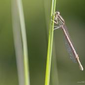 Demoiselle ou libellule sur une tige