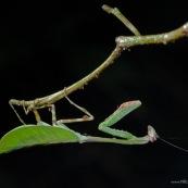 Mantidae