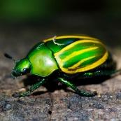 Rutelino ? Scarabaeidae