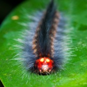 Gros plan sur une  chenille a la tete rouge, tres poilue (poils urticants), et un faux visage dessiné sur la tete, trompe l'oeil, avec de gros faux yeux jaunes. Defense contre ses predateurs.