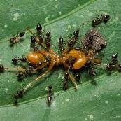 Colonie de petites fourmis en train de trainer une grosse fourmi morte.