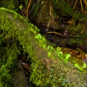 Fourmis champignonnistes