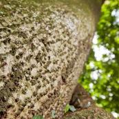 Fourmis champinioniste montant à un arbre.
