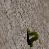 Chenille verte sur un tronc d'arbre. Chenille de Phalène brumeuse ou arpenteuse tardive papillon également appelé cheimatobie hiemale ou petite phalène hiemale. Operophtera brumata.