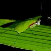 Mante et moustique