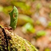 Fourmis coupeuses de feuilles ou fourmis champignonnistes en cours de transport de morceaux de feuilles. Les fourmis champignonnistes utilisent ces morceaux de feuilles pour cultiver un champignon dans le nid, car elles se nourissent de son mycelium. Fourmis transportant des morceaux de feuilles d'arbre, vue de profil. Forme de coeur en découpe sur la feuille.