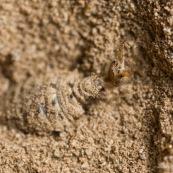 Larve de fourmilion