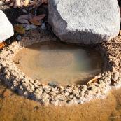 Oeufs de crapaud ou grenouille dans une riviere, nid realise dans le sable (trou) pour la ponte. En Guyane, foret tropicale amazonienne.