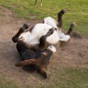 Ane en train de se rouler par terre pour se nettoyer et se gratter le dos.