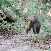"""Macaque rhÈsus (Bandar) venant vers le photographe ‡ quatre pattes, en regardant sur sa droite, sur un sentier de randonnÈe.  Singe de la population rÈintroduite ‡ hong-kong """"accidentellement"""" (‡ l'origine, probablement des animaux domestiques qui se seraient ÈchappÈs). Il y aurait une population de quelques centaines d'individus.   Ordre : Primates Famille : Cercopithecidae Genre : Macaca EspËce : Macaca mulatta"""