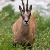 Chamois des Abruzzes (Isard Apennin), sauvage, dans le Parc National des Abruzzes, Italie (Parco Nationale díAbruzzo, Lazio e Molise).  Chamois en plongÈe, de face, dans de l'herbe haute.  Le chamois des Abruzzes est considÈrÈ comme une sous-espËce de l'Isard.  Classe : Mammalia Ordre : Cetartiodactyla Famille : Bovidae EspËce : Rupicapra rupicapra Sous-espËce : Rupicapra pyrenaica ornata