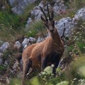 Chamois des Abruzzes (Isard Apennin), sauvage, dans le Parc National des Abruzzes, Italie (Parco Nationale díAbruzzo, Lazio e Molise).  Chamois en contre-plongÈe, de face, dans la montagne.  Le chamois des Abruzzes est considÈrÈ comme une sous-espËce de l'Isard.  Classe : Mammalia Ordre : Cetartiodactyla Famille : Bovidae EspËce : Rupicapra rupicapra Sous-espËce : Rupicapra pyrenaica ornata