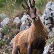 Chamois des Abruzzes (Isard Apennin), sauvage, dans le Parc National des Abruzzes, Italie (Parco Nationale díAbruzzo, Lazio e Molise).  Chamois de face, sur un flanc de montagne.  Le chamois des Abruzzes est considÈrÈ comme une sous-espËce de l'Isard.  Classe : Mammalia Ordre : Cetartiodactyla Famille : Bovidae EspËce : Rupicapra rupicapra Sous-espËce : Rupicapra pyrenaica ornata