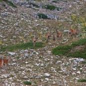 Troupeau de biches et leurs faons (cerf Èlaphe), sauvages, dans le Parc National des Abruzzes, Italie (Parco Nationale díAbruzzo, Lazio e Molise).  Neuf individus visibles de face, en montagne, arrivant d'un col visible en arriËre plan.  Classe : Mammalia Ordre : Artiodactyla Famille : Cervidae EspËce : Cervus elaphus