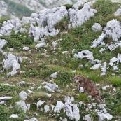 Loup des Apennins, sauvage, dans le Parc National des Abruzzes, Italie (Parco Nationale díAbruzzo).  Loup en train de s'Èloigner mais regardant l'appareil photo. Deux loups ont ÈtÈ surpris au moment du passage d'un col, ‡ moins de 20 mËtres,  ils se sont immÈdiatement enfuis. Un des deux s'est laissÈ de nouveau surprendre une centaine de mËtres plus loin, avant de reprendre son chemin. Environ 80 loups vivent dans le massif des Abruzzes.  Classe : Mammalia Ordre : Carnivora Famille : Canidae EspËce : Canis lupus Sous-espËce : Canis lupus italicus