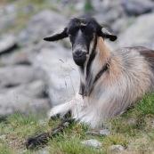 Chèvre en montagne accompagnant un troupeau de brebis. ChËvre allongÈe par terre, regardant le photographe.