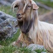 Chèvre en montagne accompagnant un troupeau de brebis. Chèvre allongÈe par terre, aux poils trËs longs.