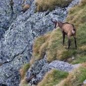 Chamois vue de derrière, tournant la tÍte, en montagne.  Classe : Mammalia Ordre : Cetartiodactyla Famille: Bovidae EspËce : Rupicapra rupicapra